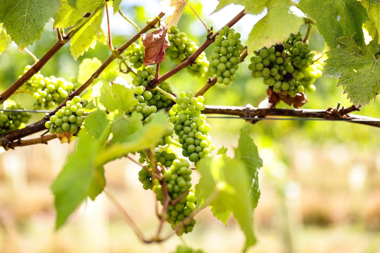 grapes in vineyard devon